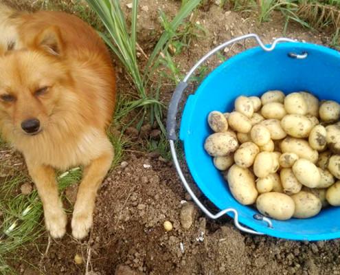patate casa in campagna